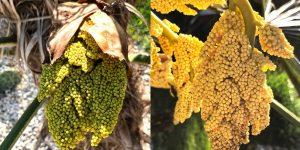 Trachycarpus fortunei: Geschlechter-Vergleich