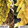 Trachycarpus fortunei: Bestimmung des Geschlechts 7