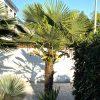 Trachycarpus fortunei: Zahlen, Daten, Fakten 3