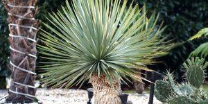 Blaublättrige Palmlilie: Zahlen, Daten, Fakten