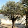Olivenbaum: Zahlen, Daten, Fakten 1