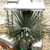 """Yucca: Winterschutz-Methode """"Überdachung"""" 5"""