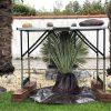 Yucca: Nässeempfindlichkeit 2
