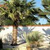 Trachycarpus fortunei: FAQs 1