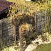Trachycarpus fortunei: Hilfe bei Frostschäden 3