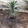 Yucca thompsoniana: Steckbrief 3