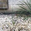 Yucca elata: Steckbrief 5
