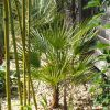 Chamaerops humilis: Kauf + Auspflanzung 2