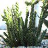 Cylindropuntia imbricata: Steckbrief 5