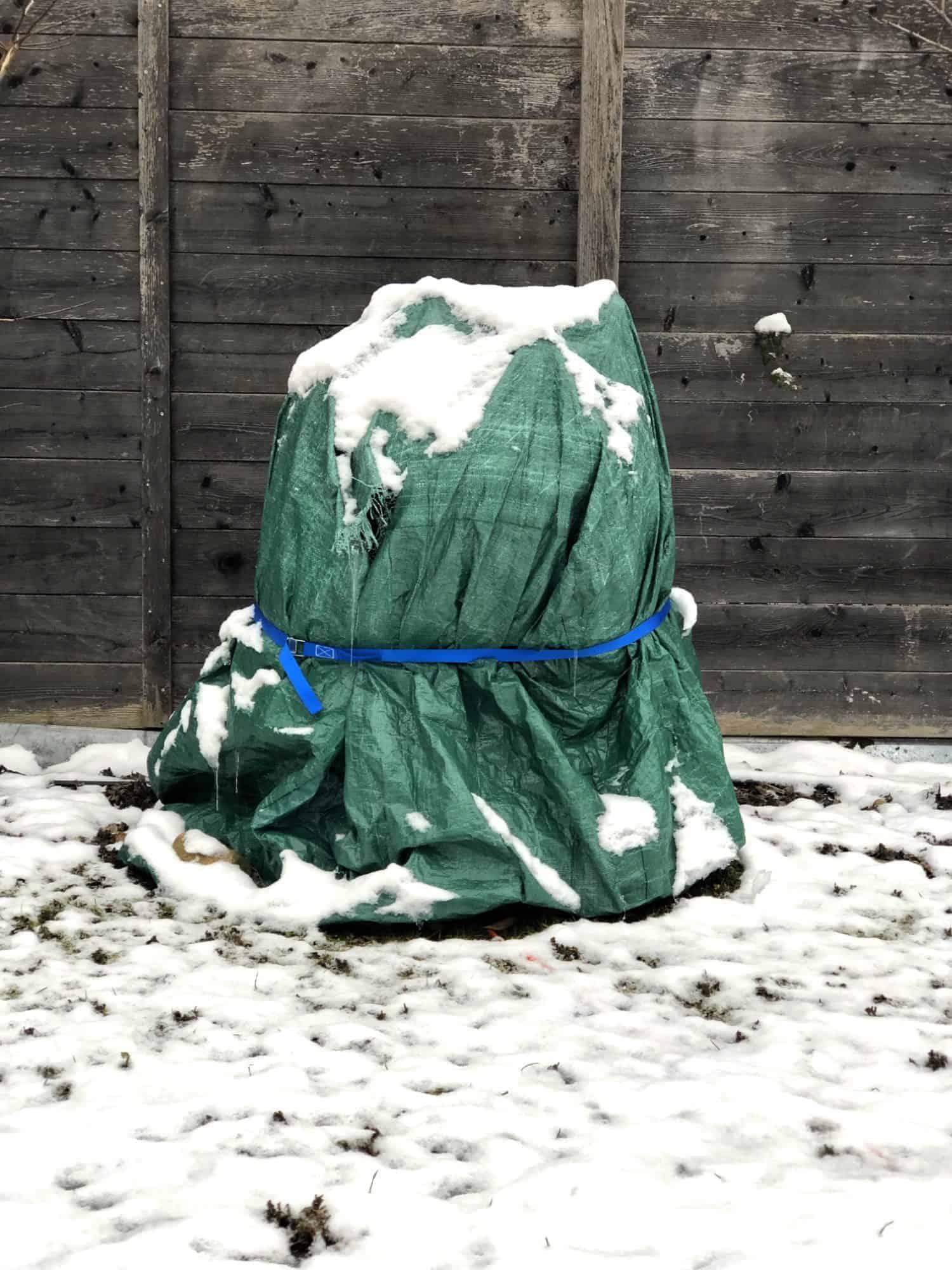 Japanische Faserbanane: Winterschutz 1