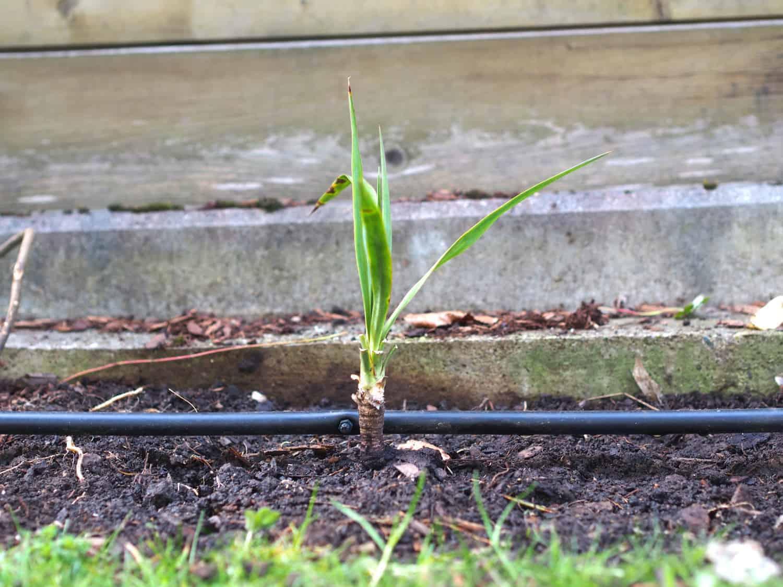 Yucca recurvifolia 1