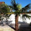 Trachycarpus Fortunei: Anschaffungs- + Unterhaltskosten 7