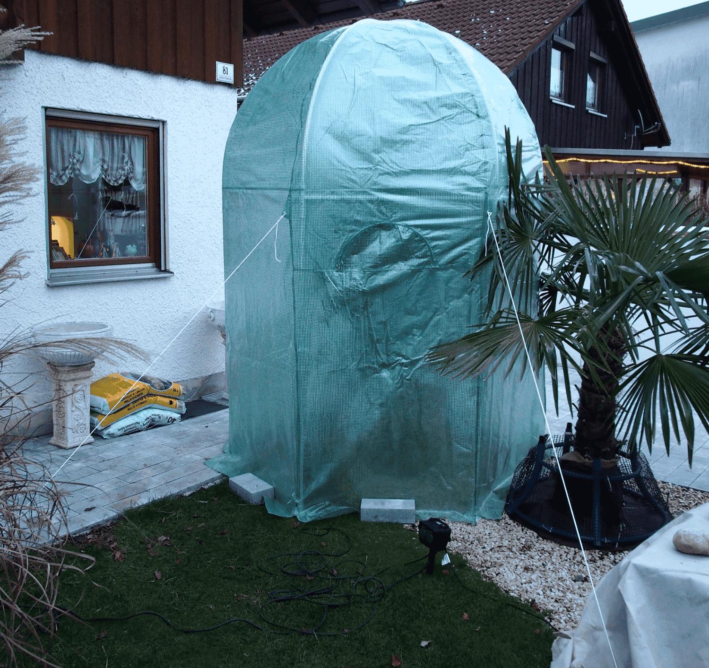 Olivenbaum: Winterschutz 1