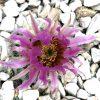 Echinocereus: Steckbrief 7