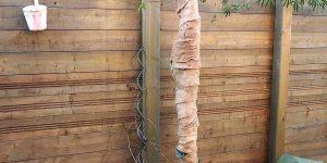 Eucalyptus: Winterschutz