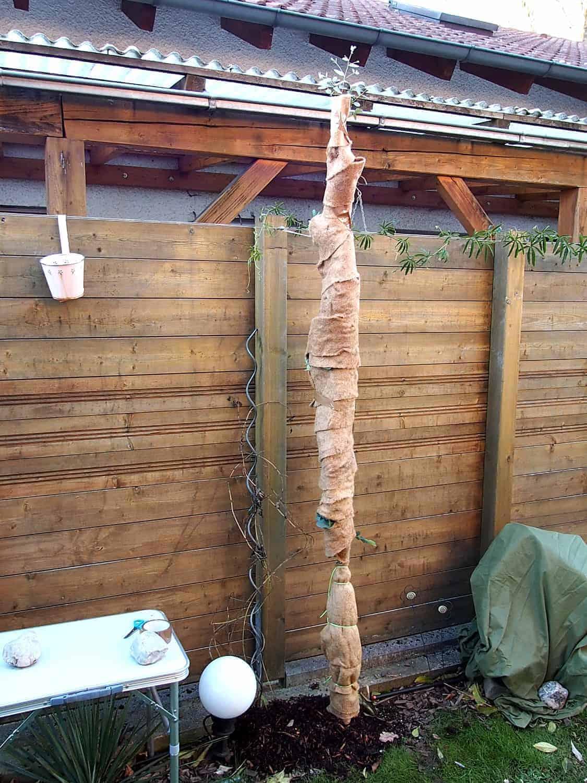 Eukalyptus: Winterschutz 1