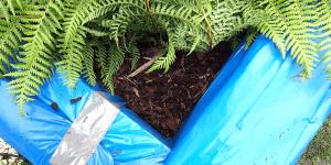 "Dicksonia antarctica: Winterschutz-Methode ""Styropor-Umhausung"""
