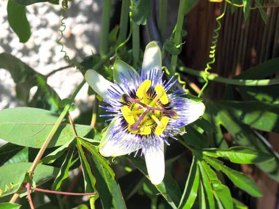 Blaue Passionsblume 1
