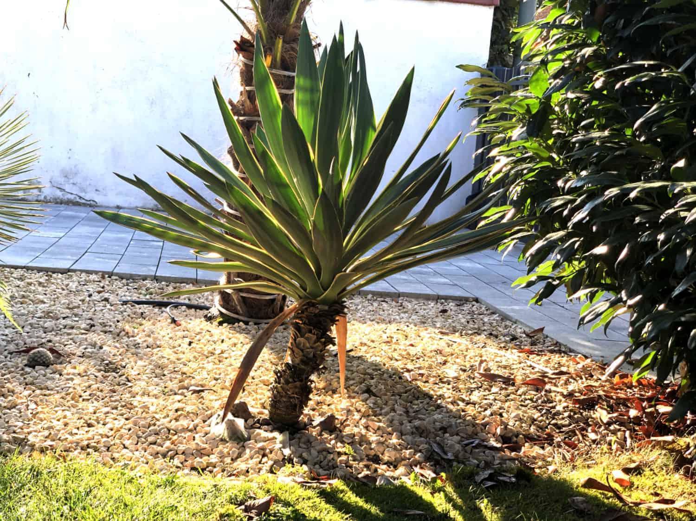 Kerzen-Palmlilie: Steckbrief 1