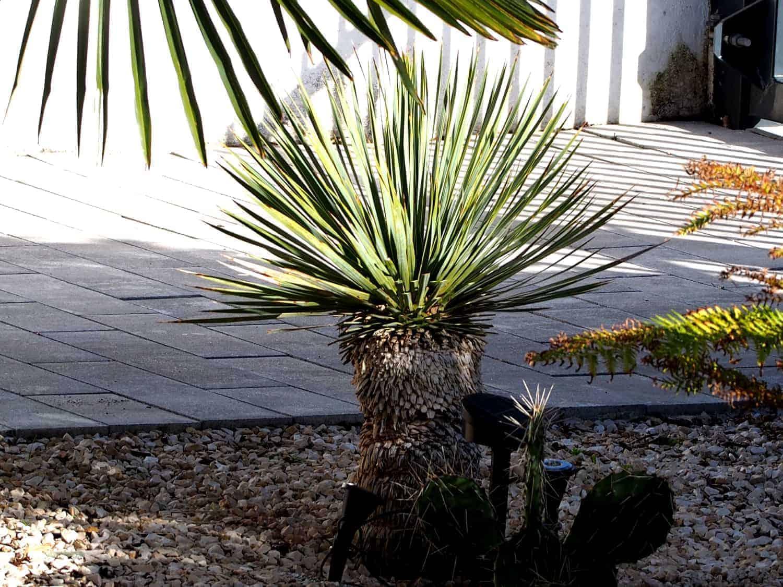 Blaublättrige Palmlilie 1