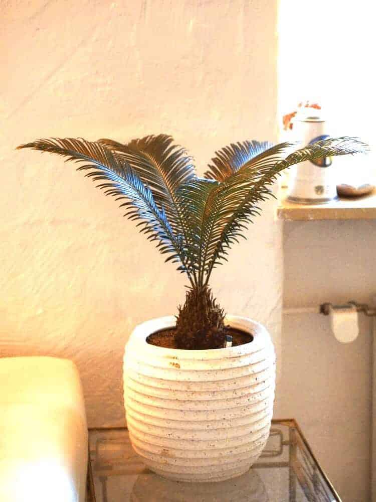 Palmfarn: Steckbrief 1