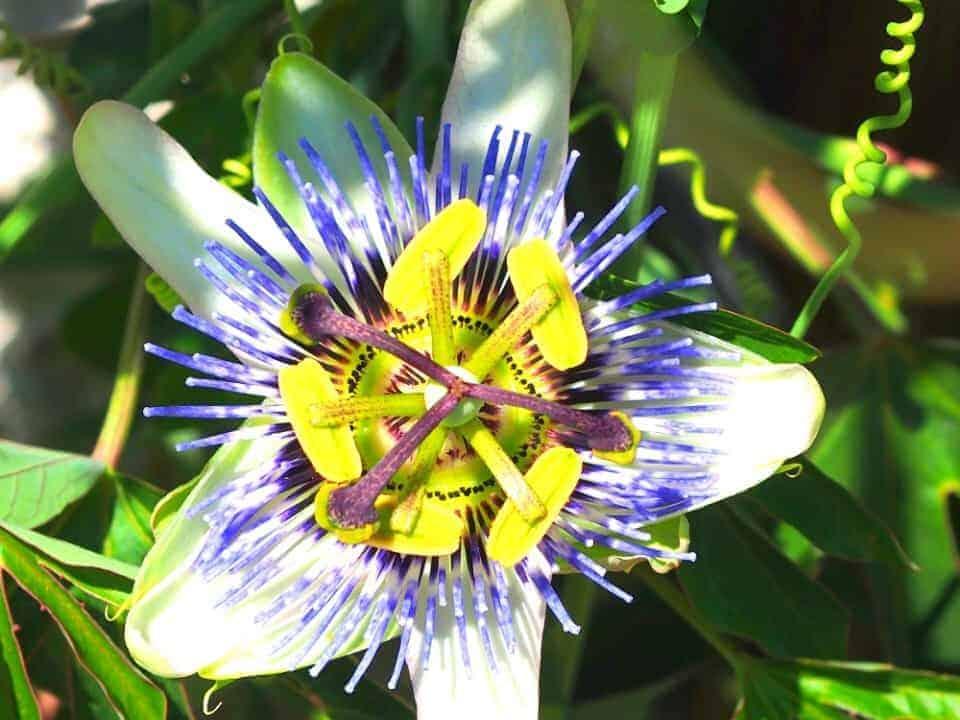 Pflanze der Saison 2015/16: blaue Passionsblume 1