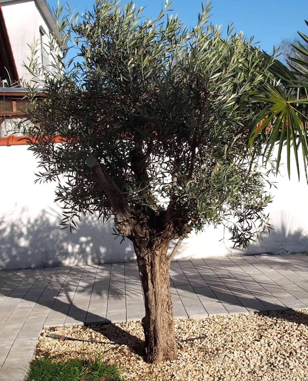 Der neue Olivenbaum: Karma is a bitch!?! 1