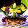 Passiflora: Steckbrief 9