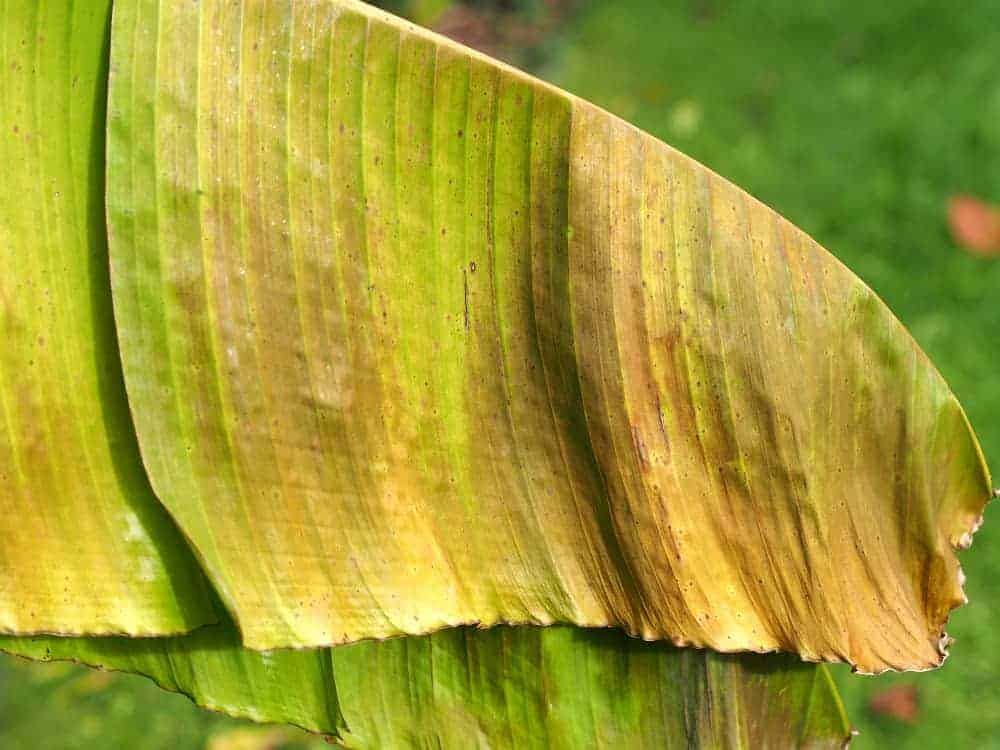 Japanische Faserbanane: Mangelerscheinungen + Krankheiten 1