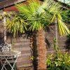 Trachycarpus Fortunei: Kaufgründe 9