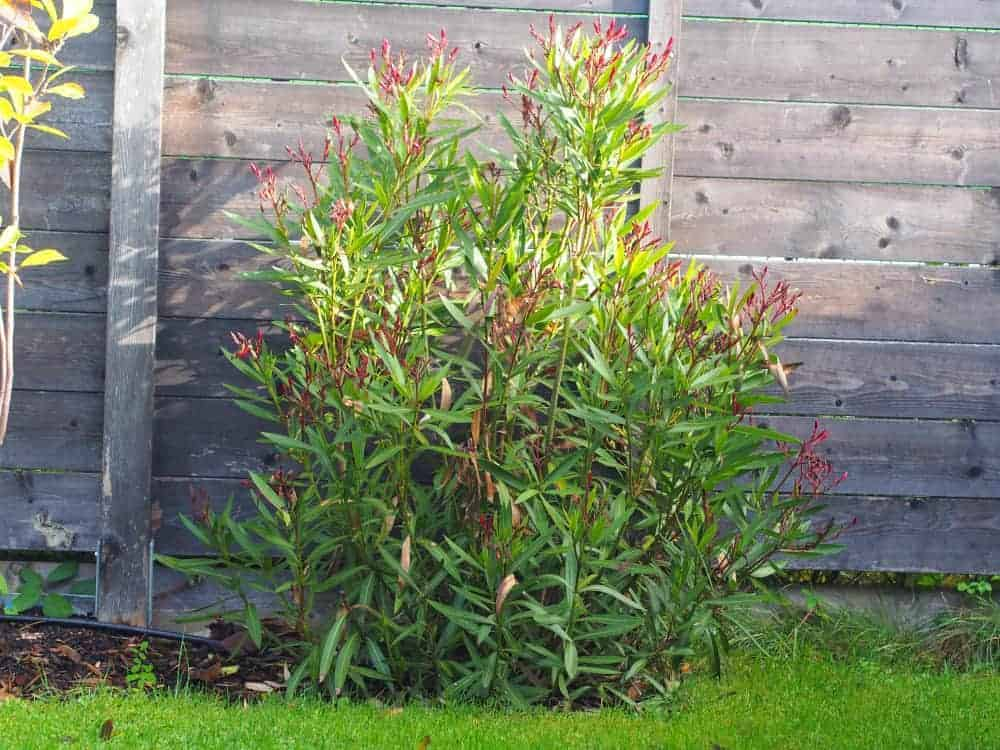 Oleander: Steckbrief 1