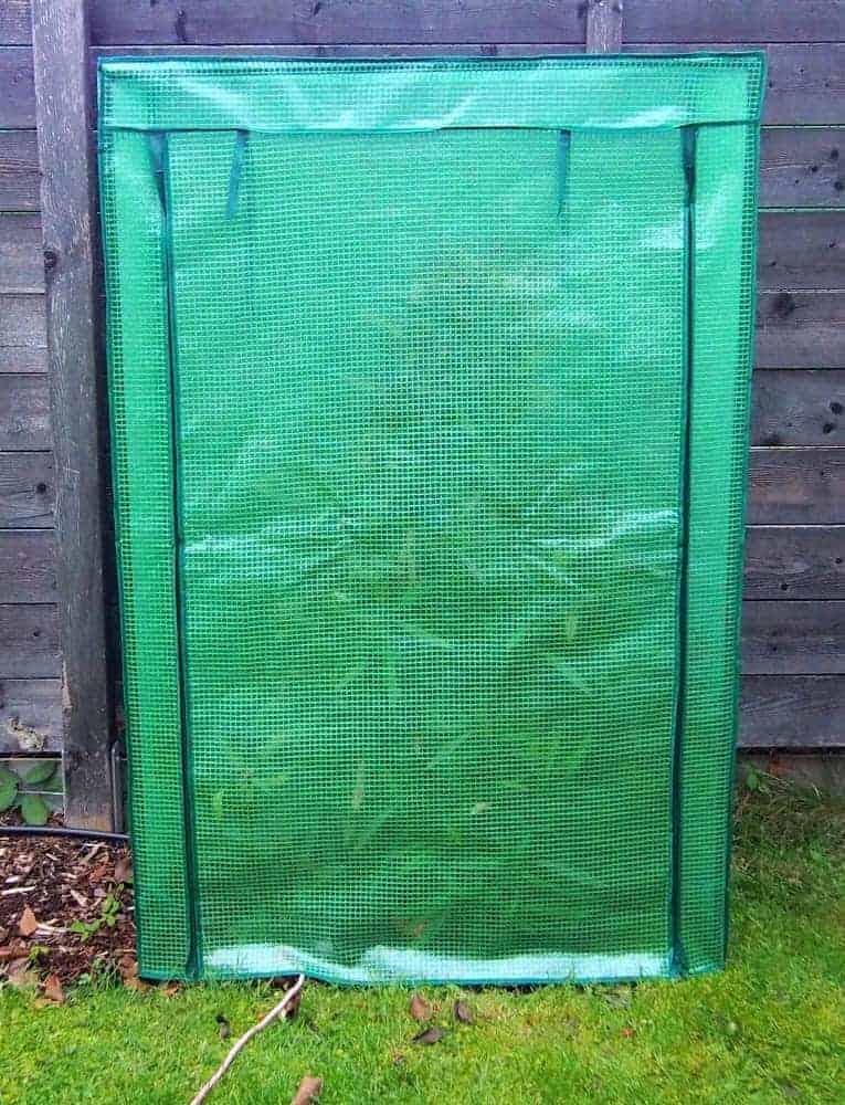 Oleander: Winterschutz 1