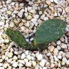 Cactaceae: Pflege 10
