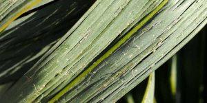 Trachycarpus Fortunei: Mangelerscheinungen + Krankheiten