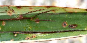 Yucca: Mangelerscheinungen + Krankheiten