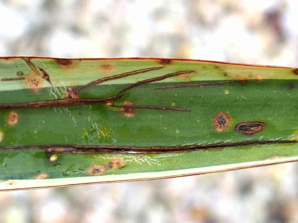 Palmlilie: Mangelerscheinungen + Krankheiten 1