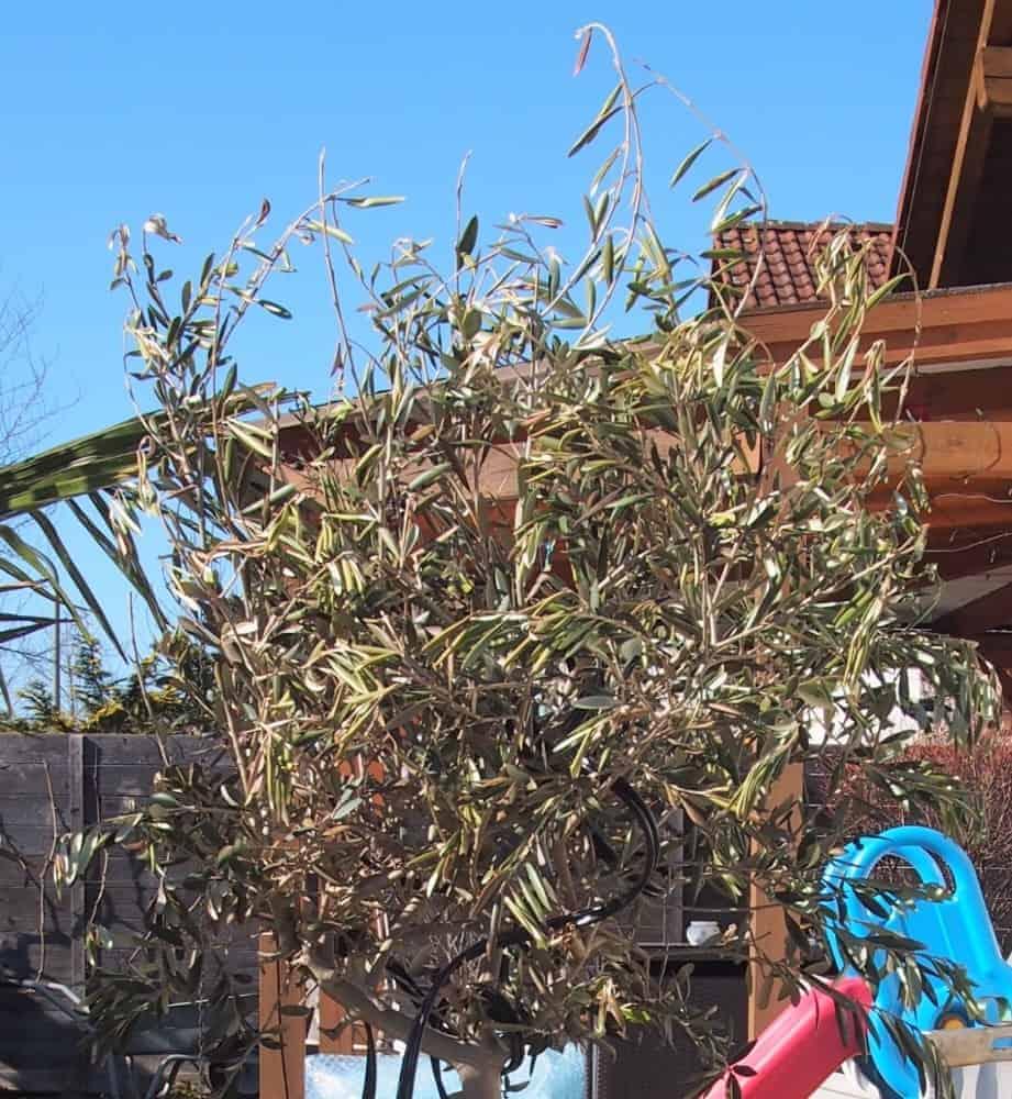Olivenbaum: Mangelerscheinungen + Krankheiten 1