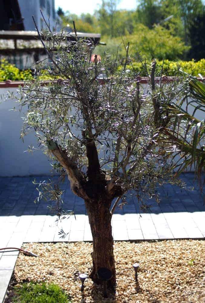 Olivenbaum: Kauf + Auspflanzung 1