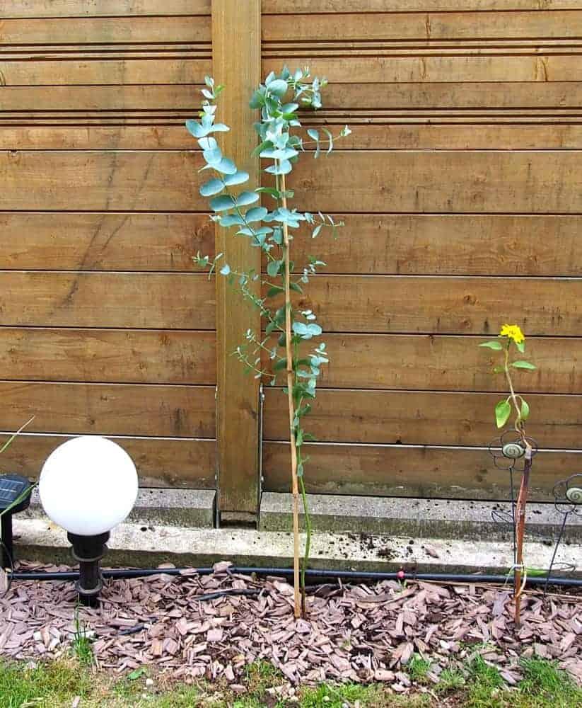 Mostgummi-Eukalyptus 1
