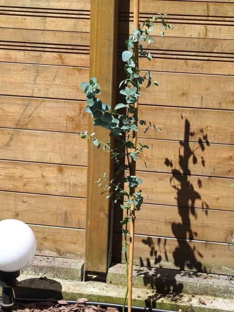 Mostgummi-Eukalyptus: Steckbrief 1