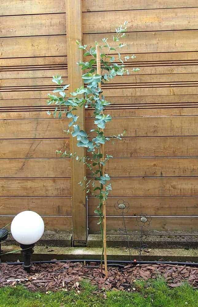 Eukalyptus: Pflege 1