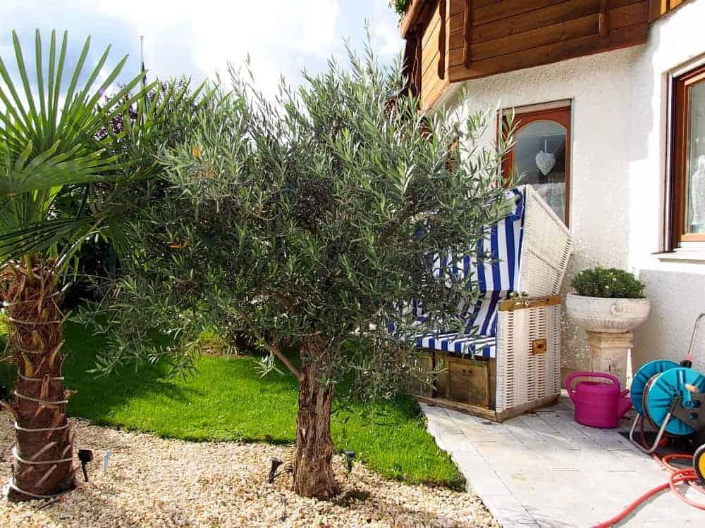 Olivenbaum: Kaufgründe 1