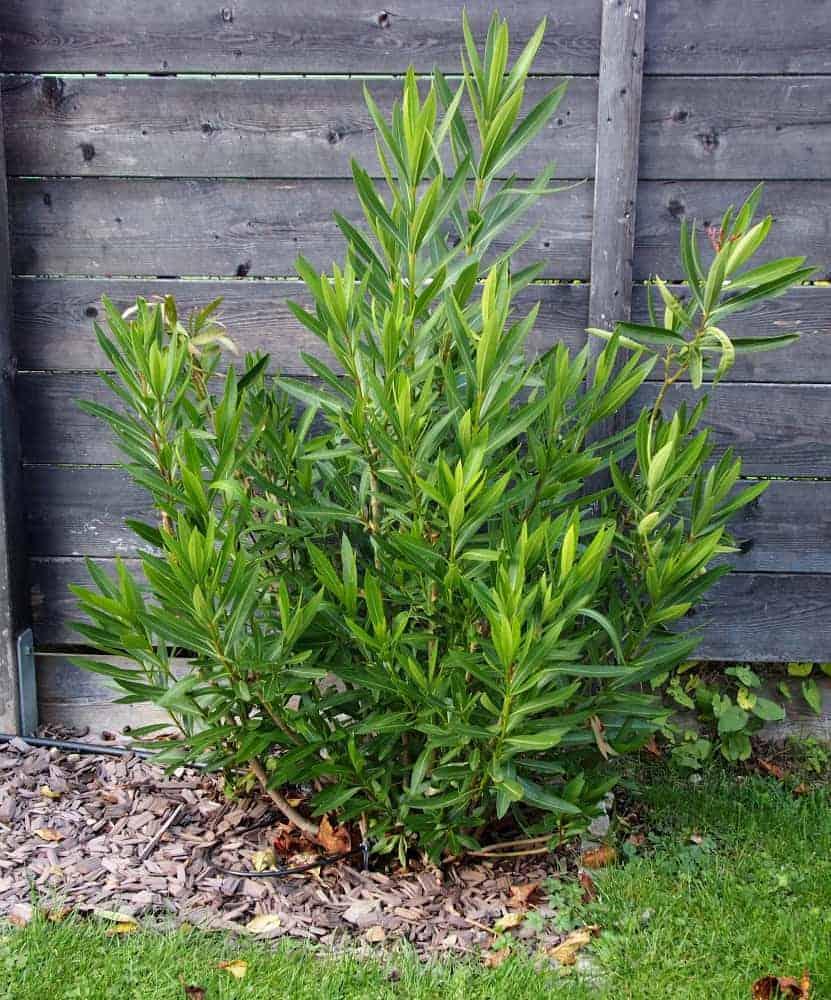 Pflanze der Saison 2017/18: Oleander 1