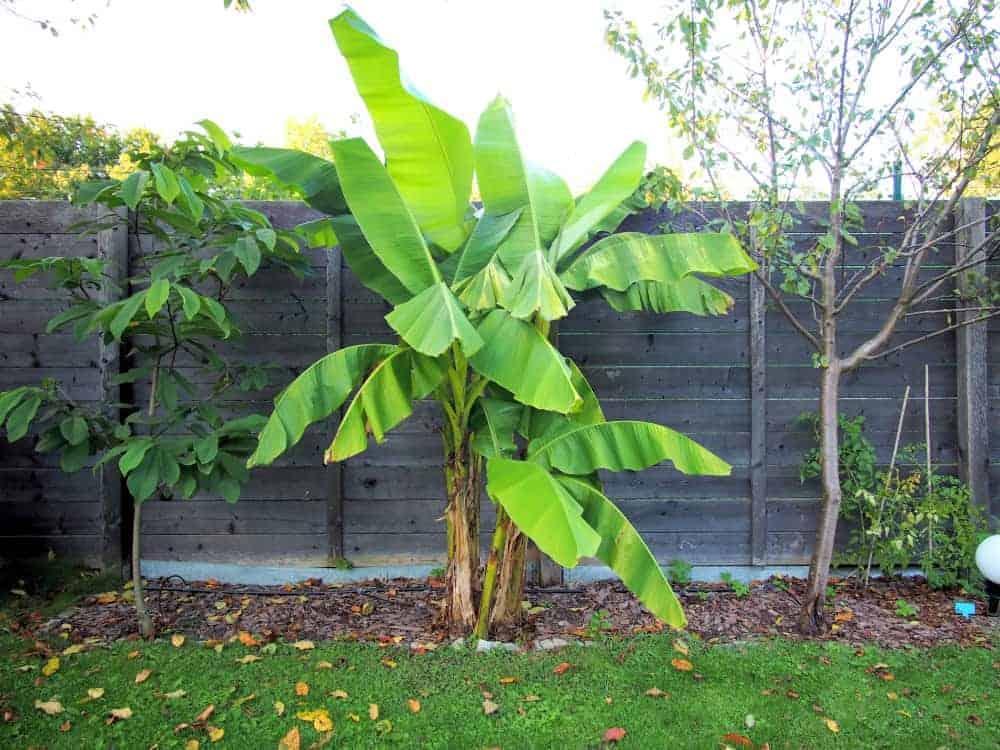 Banane: Steckbrief 1