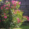 Oleander: Kaufgründe 1