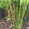 Bambus: Pflege 7