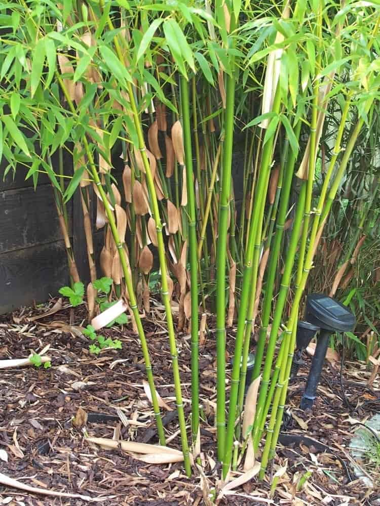 Bambus: Pflege 1