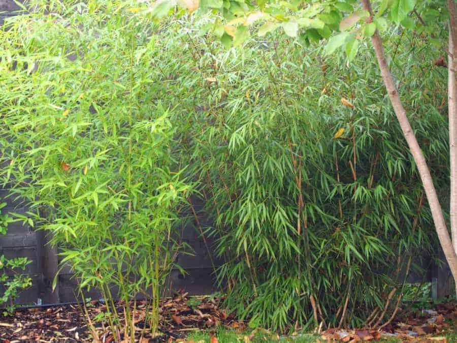Gartenbambus 1
