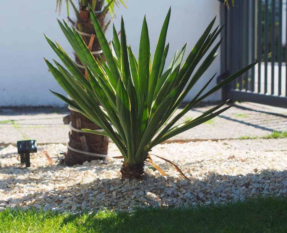 Kerzen-Palmlilie 1